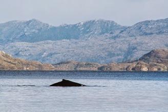 VENUS SAILING CROISIERE PATAGONIE baleine