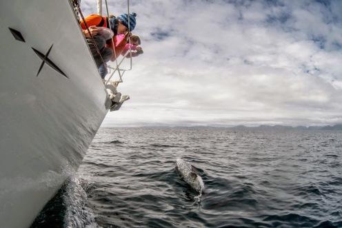 VENUS SAILING CROISIERE PATAGONIE Observation Dauphins