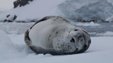 Léopard des mers antarctique venus